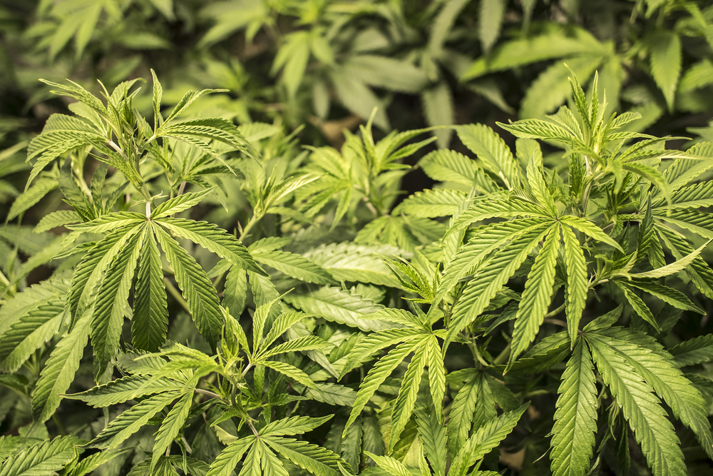 trimming weed guide
