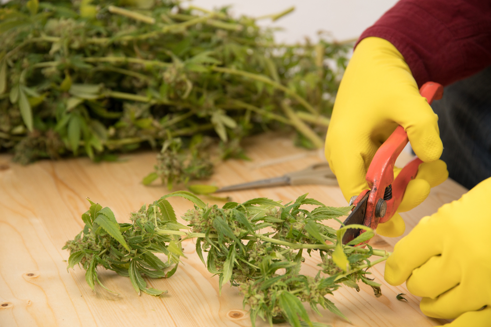 when to harvest weed tips