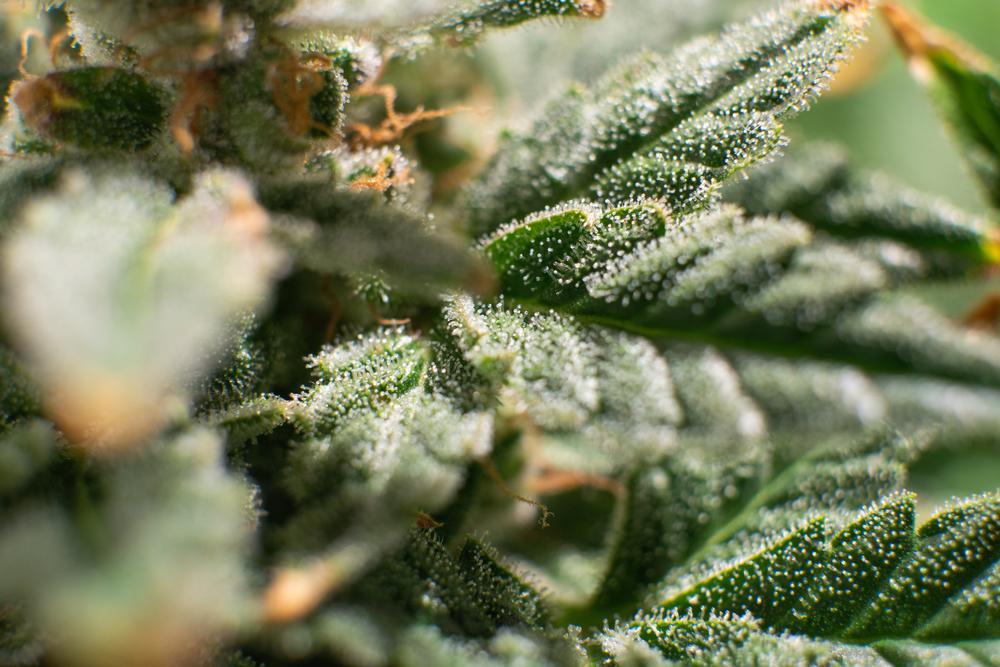 weed addiction