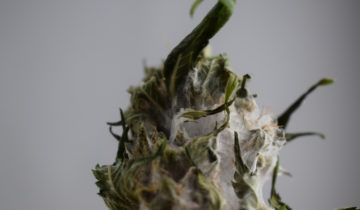 Moldy Weed – The Dangers & How to Prevent it